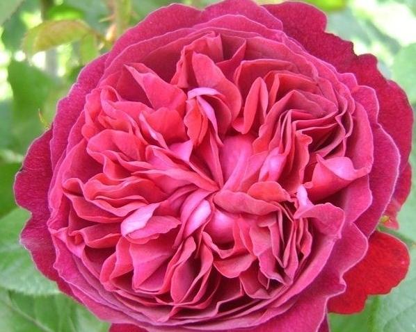 Вильям Шекспир 2000 - William Shakespeare 2000 (Austin) - питомник роз Гранди Флора КФХ Грандифлора