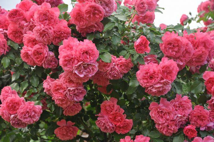 Роза мишель бедросьян энциклопедия роз 21
