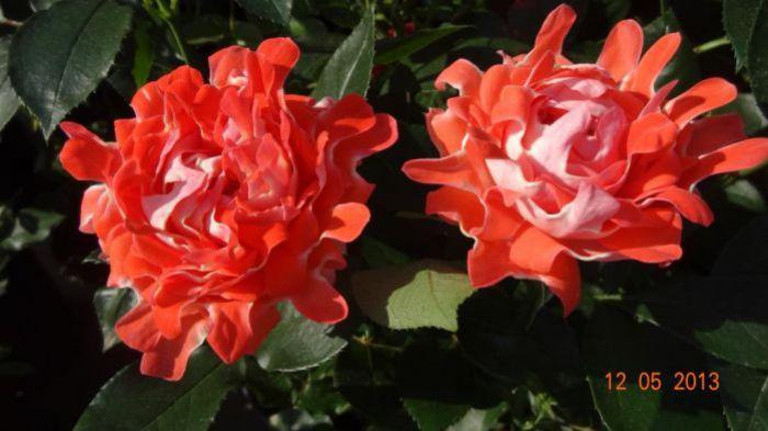 Грандифлора розы питомник