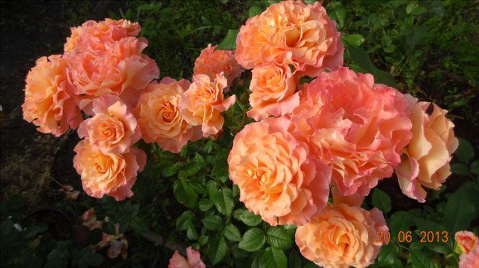 тантау роза фото