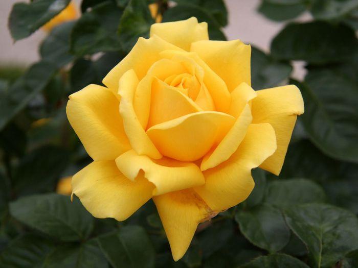 http://www.grandi-flora.ru/files/Gina_Lollobrigida.jpg