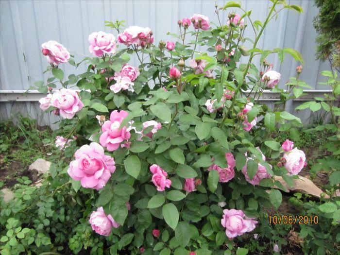 Английская роза мэри роуз