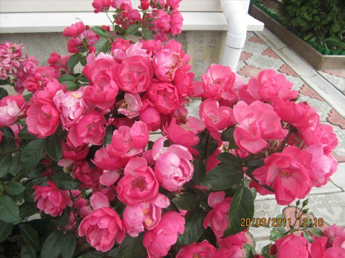 Саженец розы анжела купить цветы однолетние купить